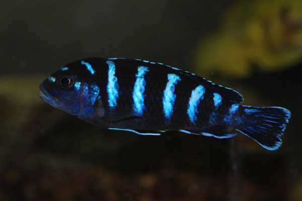 Pseudotropheus Demasoni Pombo Fêmea | Lago Malawi  - KAUAR