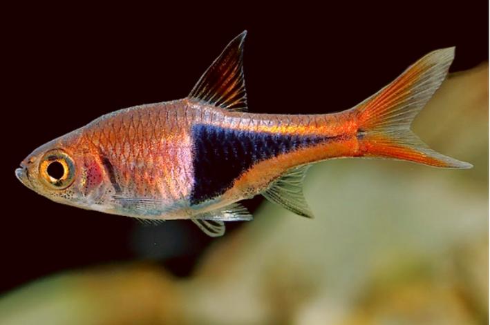 Rasbora Harlequim | 1,5 a 2 cm| Trigonostigma heteromorpha  - KAUAR