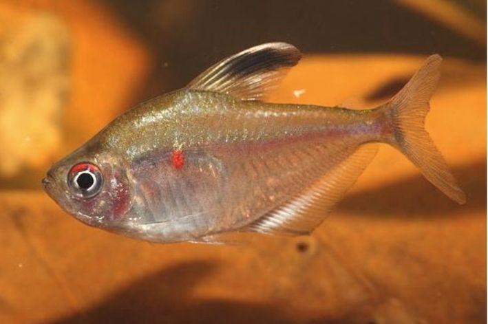 Rosaceo   Hyphessobrycon socolofi  - KAUAR