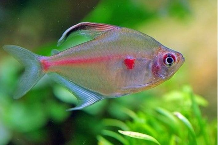 Rosaceo Vermelho   Hyphessobrycon erythrostigma  - KAUAR