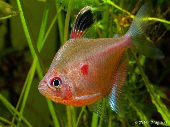 Rosaceo Vermelho | Hyphessobrycon erythrostigma  - KAUAR
