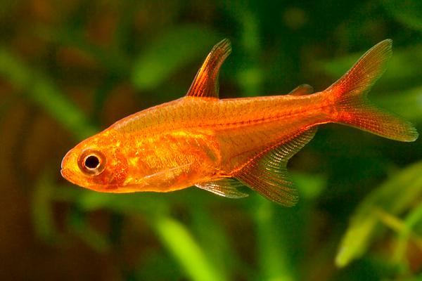 Tetra Foguinho Amandae | Hyphessobrycon amandae  - KAUAR