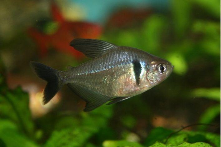 Tetra Black Phanton | Hyphessobrycon megalopterus  - KAUAR