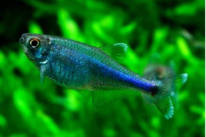 Tetra Blue Neon   Boehlkea fredcochui  - KAUAR