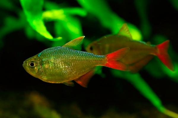 Tetra Colombiano Gold | Hyphessobrycon Columbianus  - KAUAR