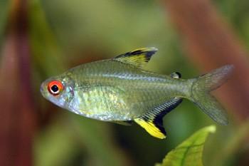 Tetra Limão | Hyphessobrycon pulchripinnis  - KAUAR