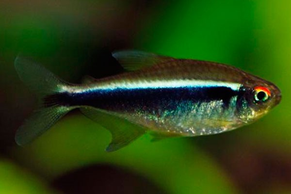 Tetra Neon Negro | Hyphessobrycon herbertaxelrodi  - KAUAR