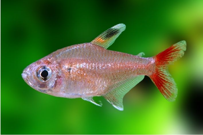 Tetra Nordeste  2,5 a 3 cm   Hyphessobrycon micropterus  - KAUAR