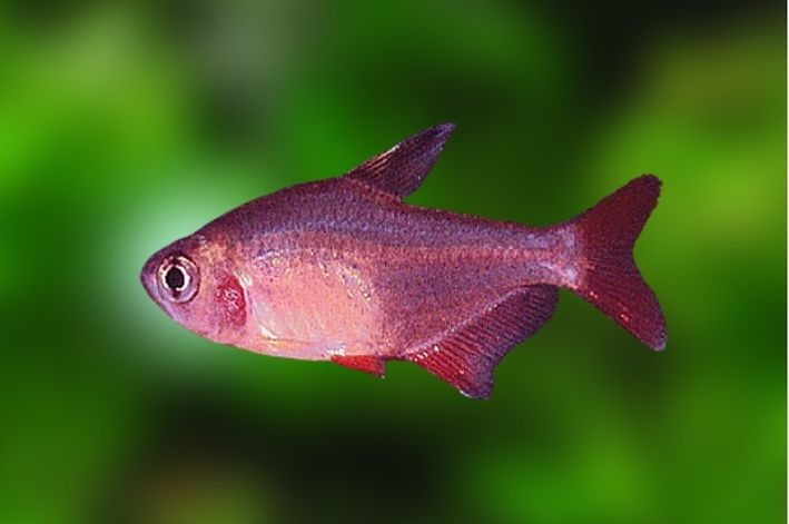 Tetra Nordeste   Hyphessobrycon micropterus   - KAUAR