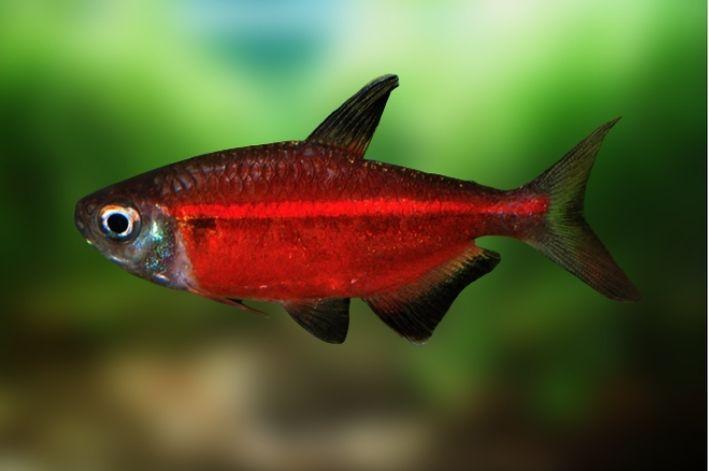 Tetra Red Laser | Hemmigramus coeruleus    - KAUAR