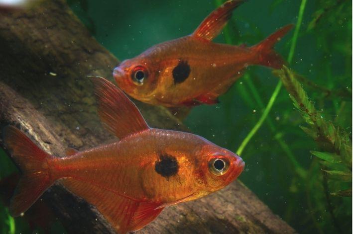 Tetra Red Phanton | Hyphessobrycon sweglesi  - KAUAR