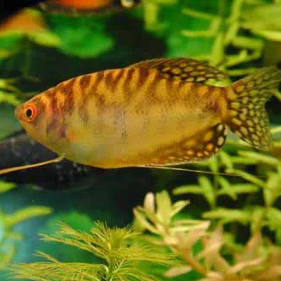 Tricogaster Ouro| Trichogaster trichopterus  - KAUAR