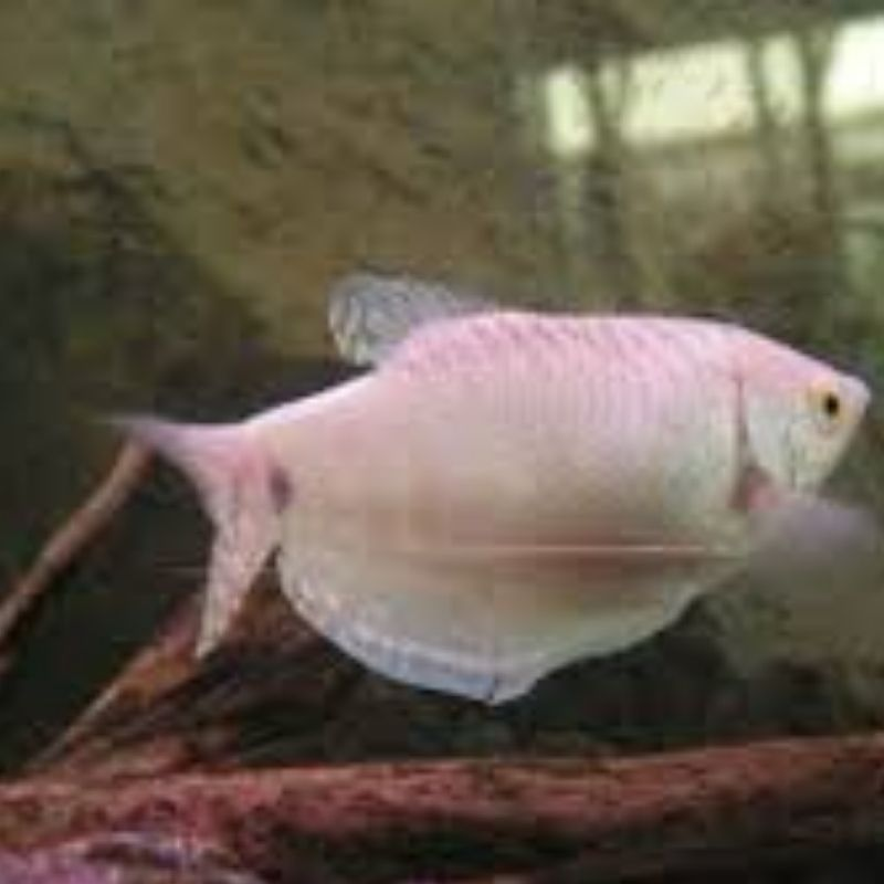 Tricogaster Rosa | Trichogaster trichopterus  - KAUAR