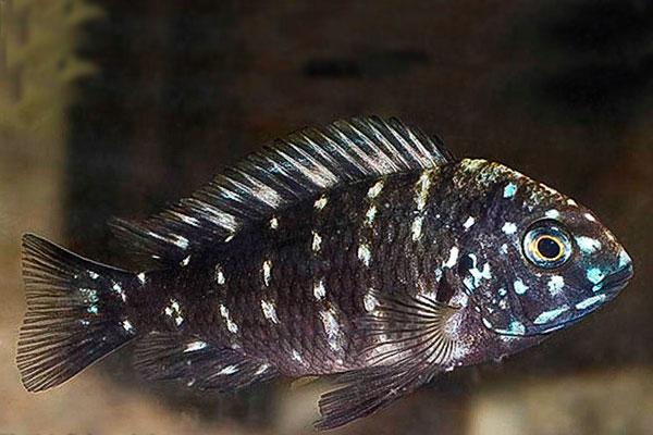Tropheus Duboisi | Lago Tanganica  - KAUAR