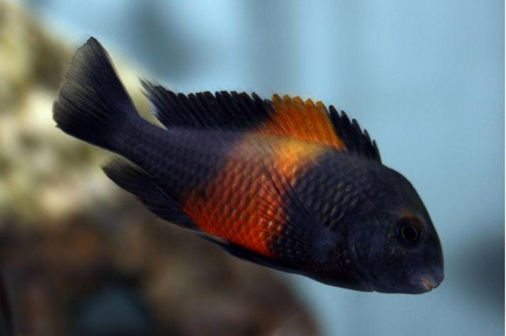 Tropheus Moorii Bemba Red | Lago Tanganica  - KAUAR