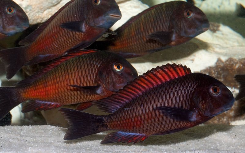 Tropheus Moorii Red Moliro | 3 a 5 cm | Lago Tanganica  - KAUAR