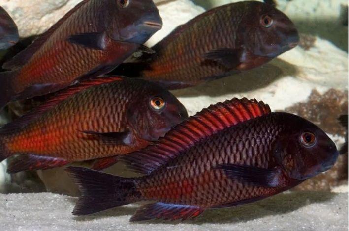 Tropheus Moorii Red Moliro   3 a 5 cm   Lago Tanganica  - KAUAR