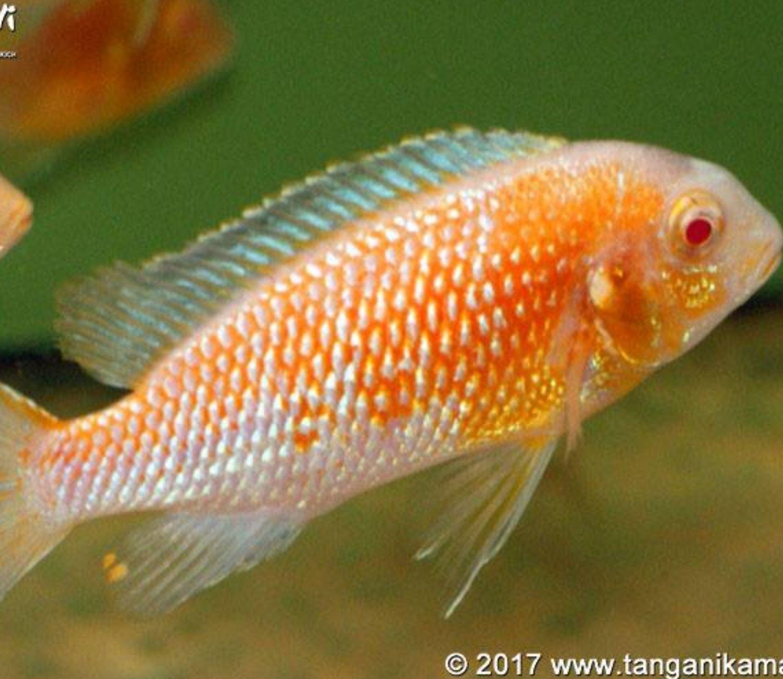 Tropheops Red Cheek Albino   - KAUAR