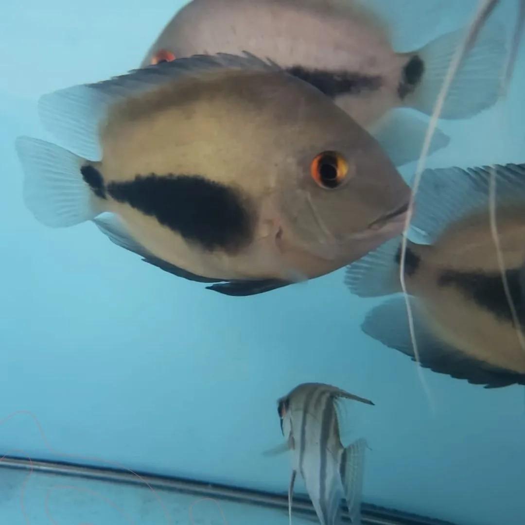 Uaru |13 a 15 cm |  Uaru amphiacanthoides   - KAUAR