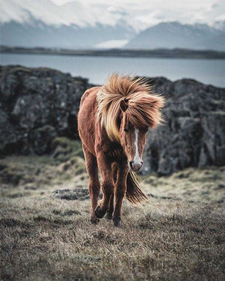 Icelandic Horse, 2018, da série Terra de fogo e gelo