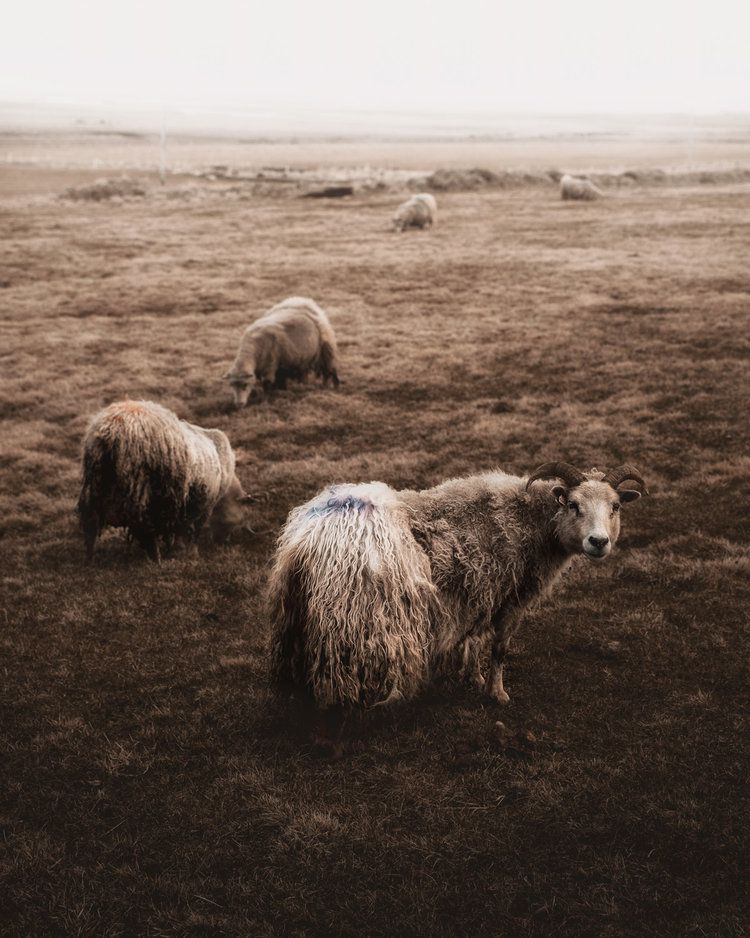Icelandic Sheeps, 2018, da série Terra de fogo e gelo