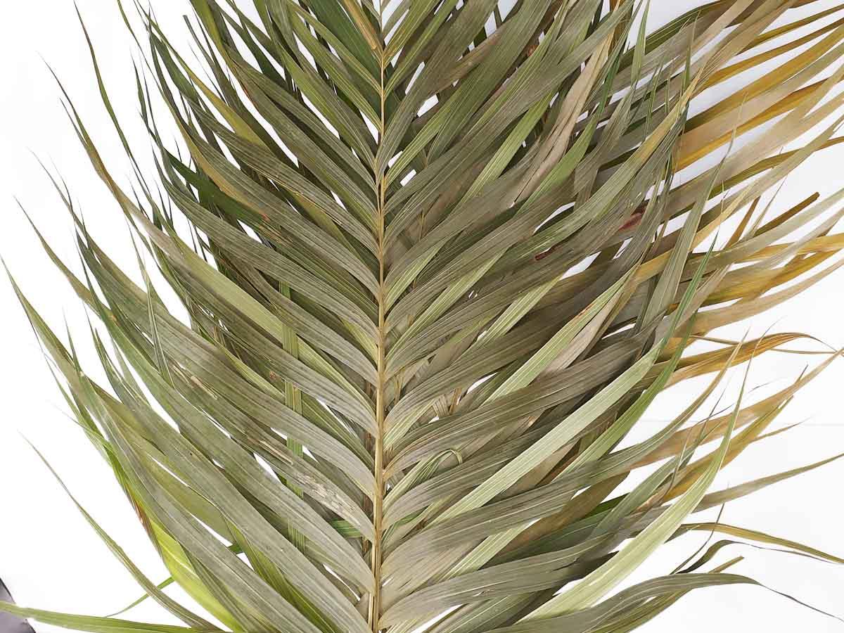 Folhagem Preservada Areca Natural 65cm