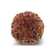 Sementes De Alface Scarlet - 25.000 Sementes - Sakata