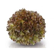 Sementes De Alface Mimosa Roxa Mila - 7.500 Sementes - Sakata