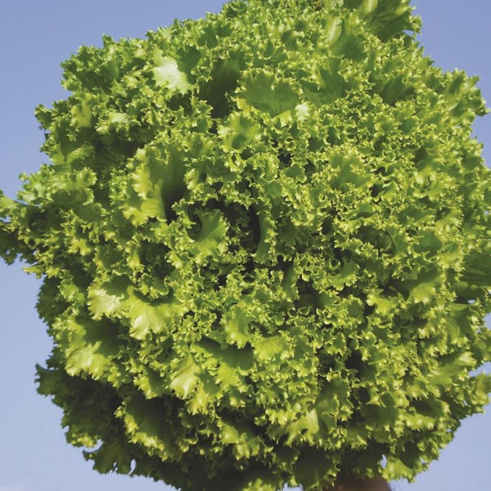 Sementes De Alface Crocante SVR 2005- 5.000 sementes - Seminis