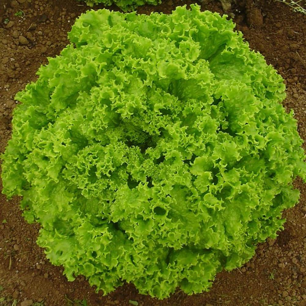 Sementes De Alface Solaris - 5.000 sementes - Seminis