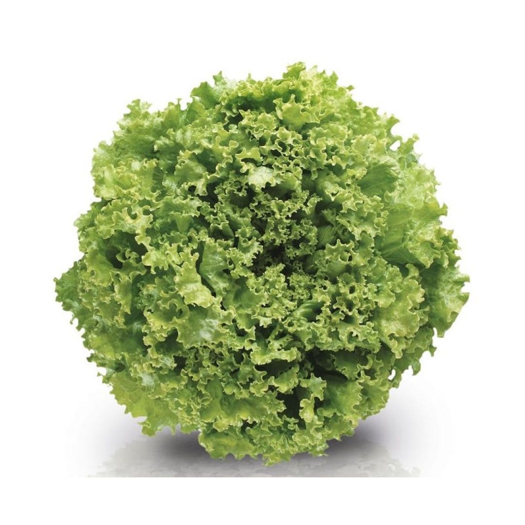 Sementes De Alface Vera - 7.500 sementes - Sakata