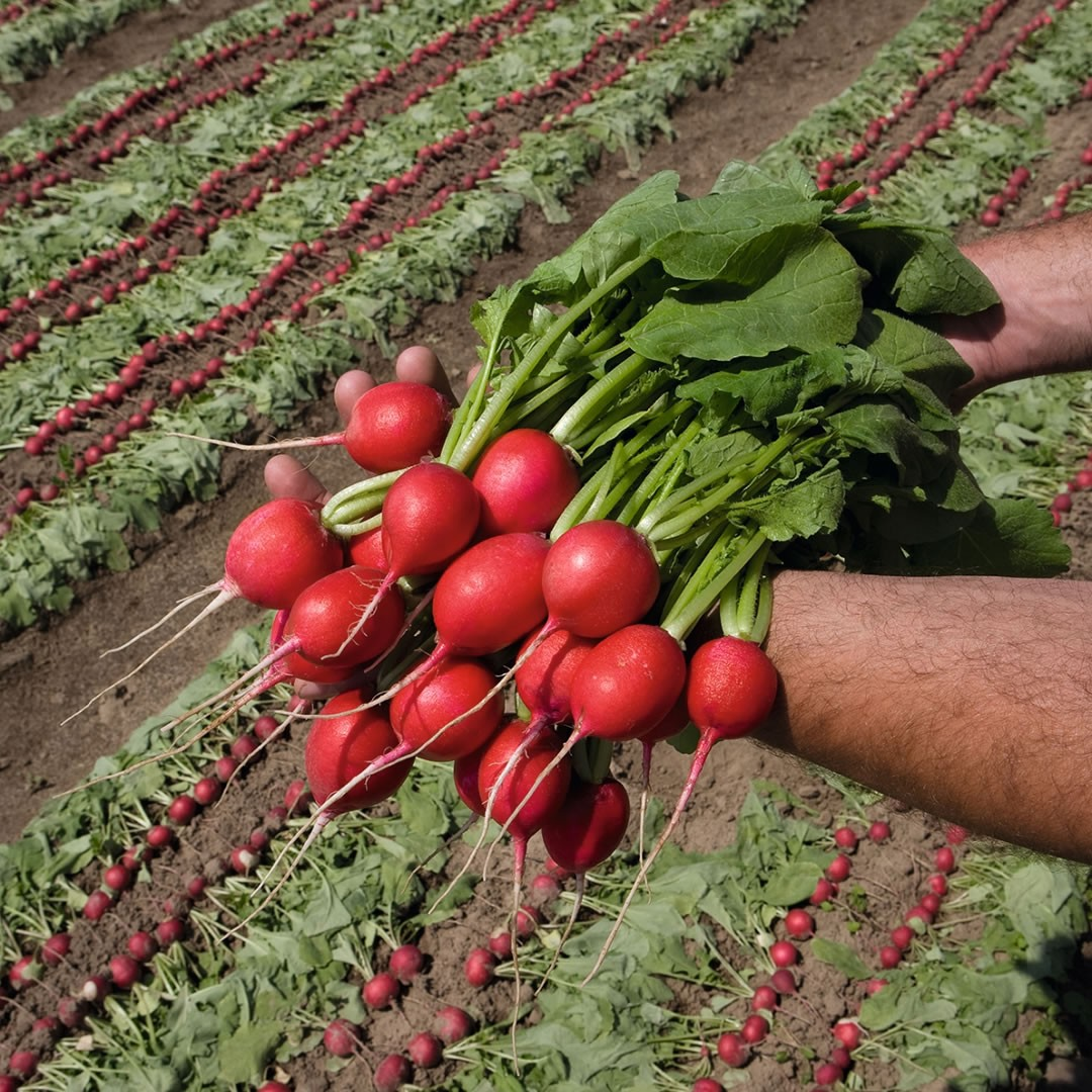 Sementes De Rabanete Rivoli - 5.000 sementes - Bejo