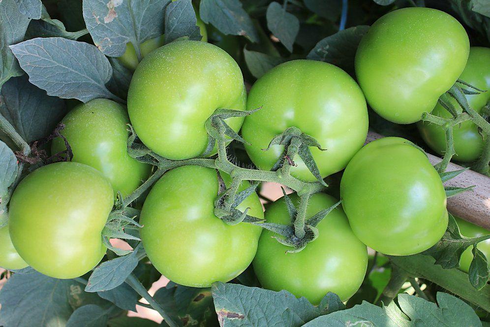 Sementes de Tomate Cerrado - 1.000 sementes