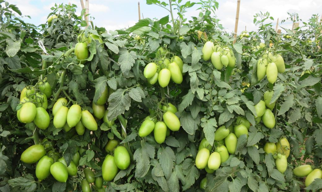 Sementes de Tomate Guará - 1.000 sementes