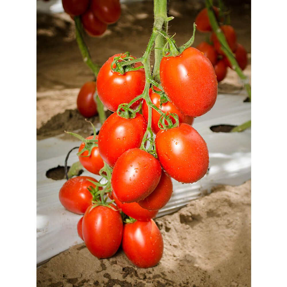 Sementes De Tomate Híbrido Paipai - 1.000 Sementes