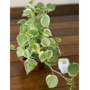 PEPEROMIA SCANDES CUIA 13cm