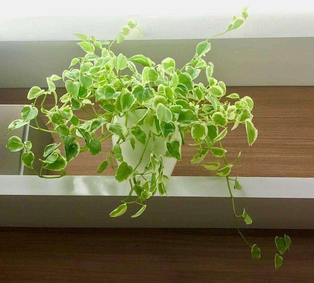 PEPEROMIA SCANDES CUIA 21cm