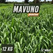 Sementes para Capim Brachiaria Híbrida MAVUNO Alta Pureza VC76 5kg