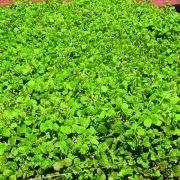 Sementes para Capim CALOPOGÔNIO (Saco de 25kg)