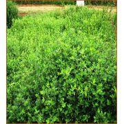 STYLOSANTHES Campo Grande (Saco de 5kg)