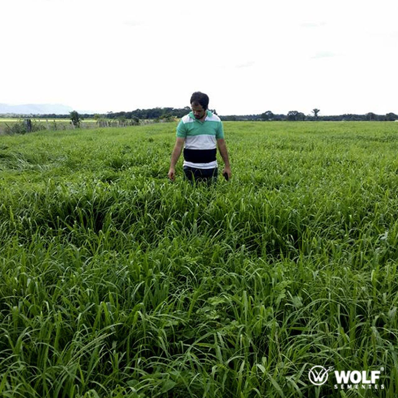 Combo 100kg Panicum maximum Mombaça Incrustada + 15L Fertilizante Foliar Pastotal Completo