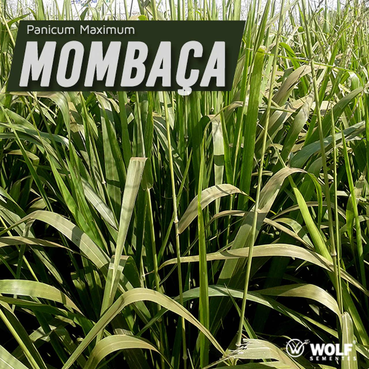 Combo 100kg Panicum maximum Mombaça Incrustada + 20L Fertilizante Foliar Pastotal Nitro+
