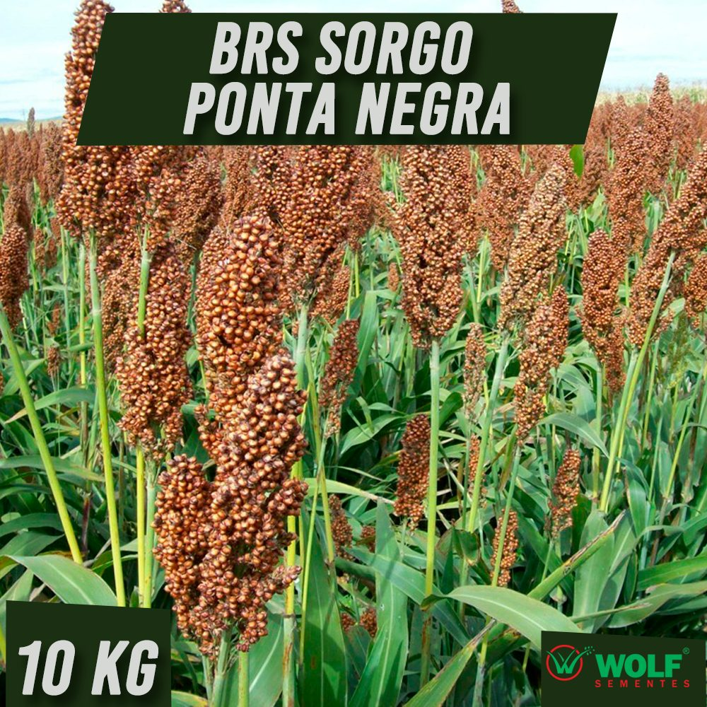 Combo 60kg Brachiaria Híbrida Mavuno Alta Pureza VC76 + 100kg BRS Sorgo Ponta Negra