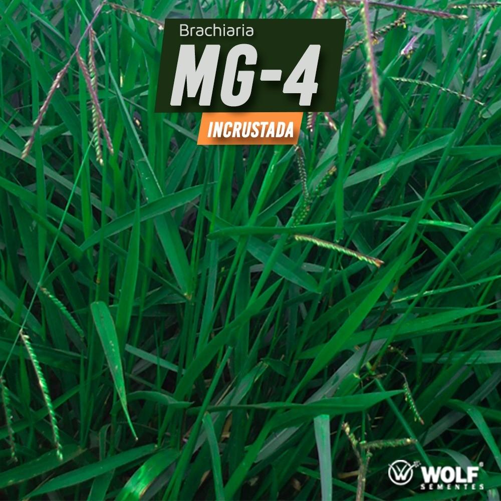 Sementes para Capim Brachiaria Brizantha cv. MG-4 Incrustada (Saco de 10kg)