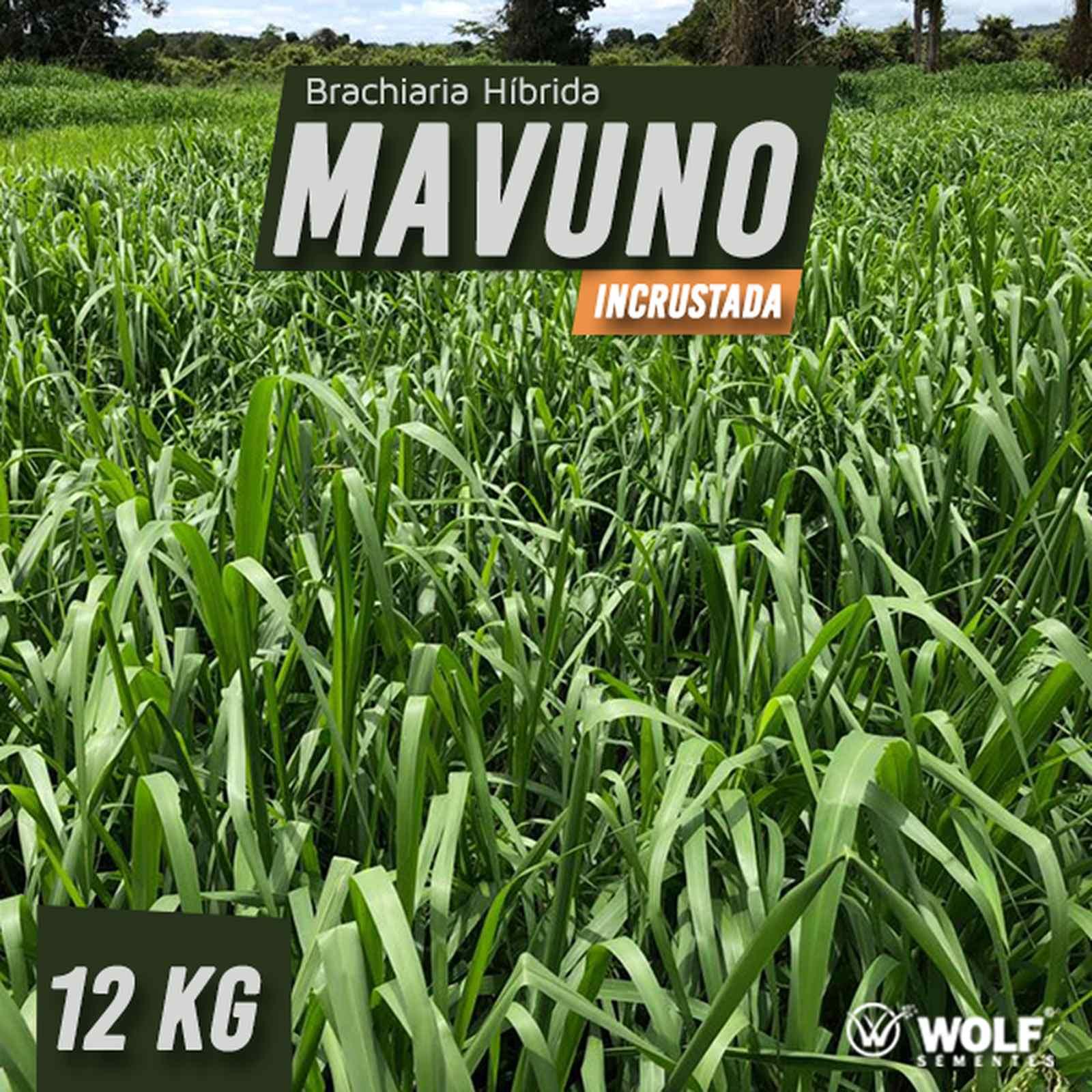 Sementes para Capim Brachiaria Híbrida MAVUNO Incrustada 15kg