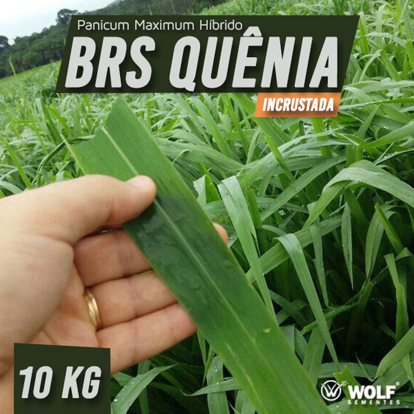 Sementes para Capim BRS QUÊNIA Incrustada (Saco de 10kg)