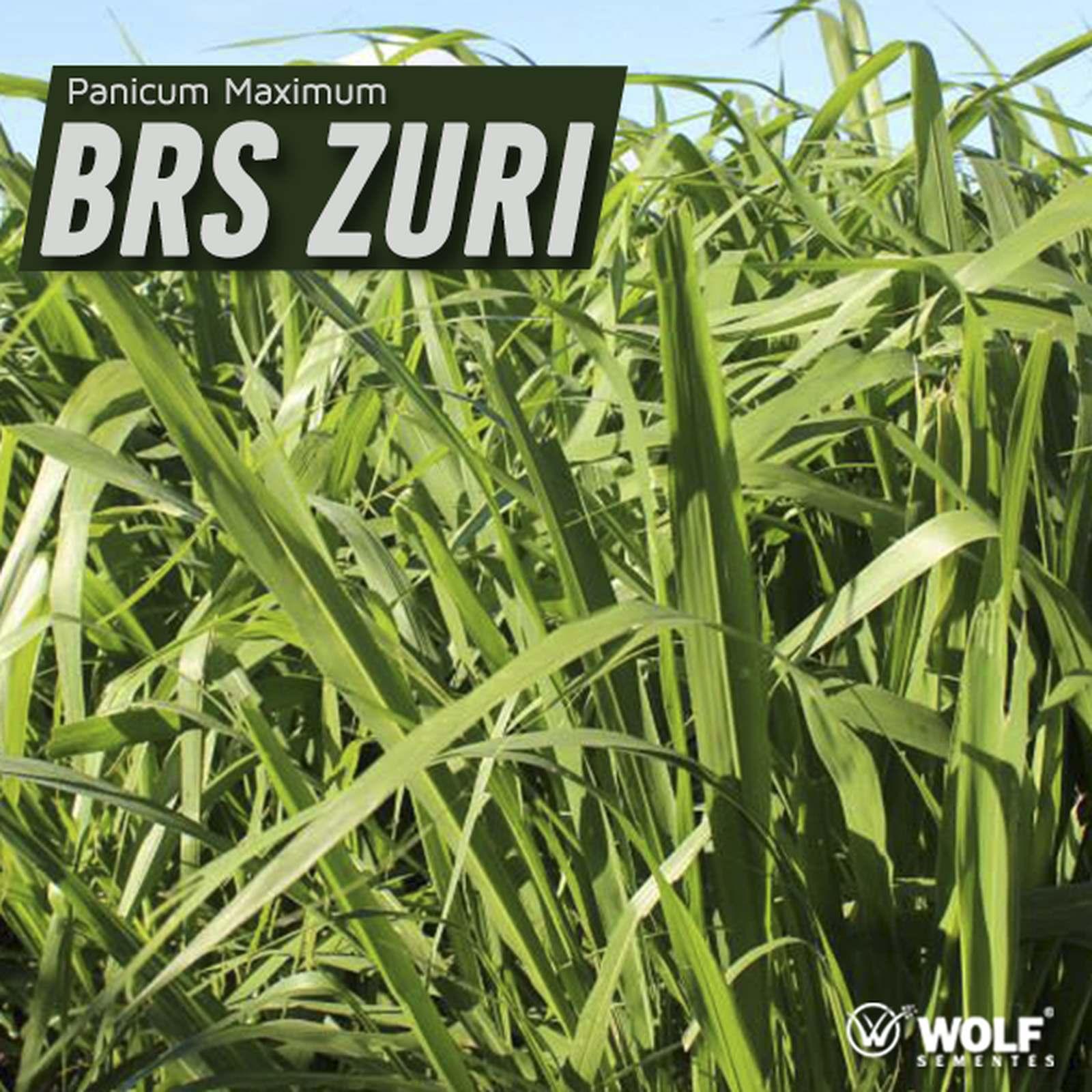 Sementes para Capim BRS ZURI VC76 (Saco de 5kg)