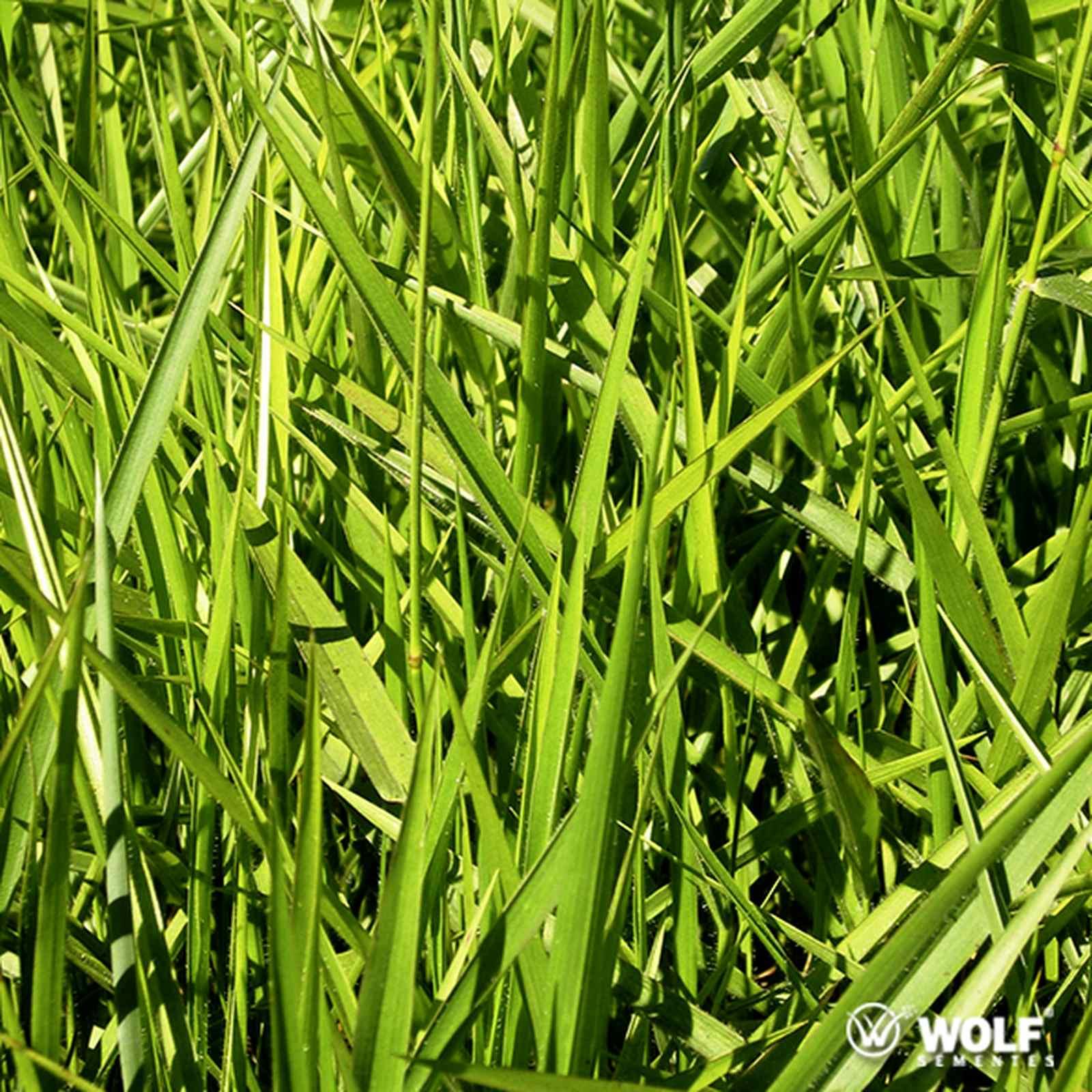Sementes para Capim DECUMBENS Basilisk Incrustada (Saco de 10kg)