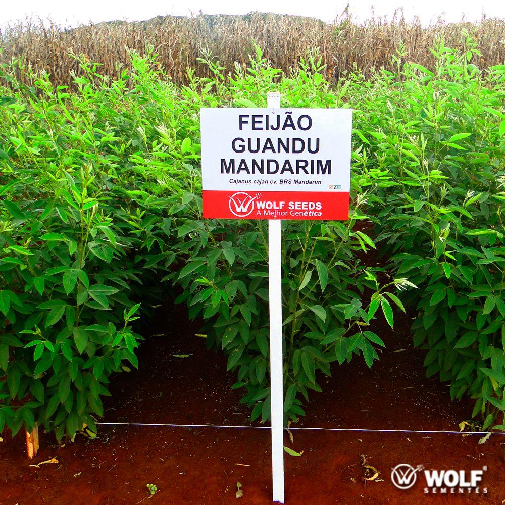 Sementes para Capim Feijão Guandu BRS MANDARIM (Saco de 25kg)