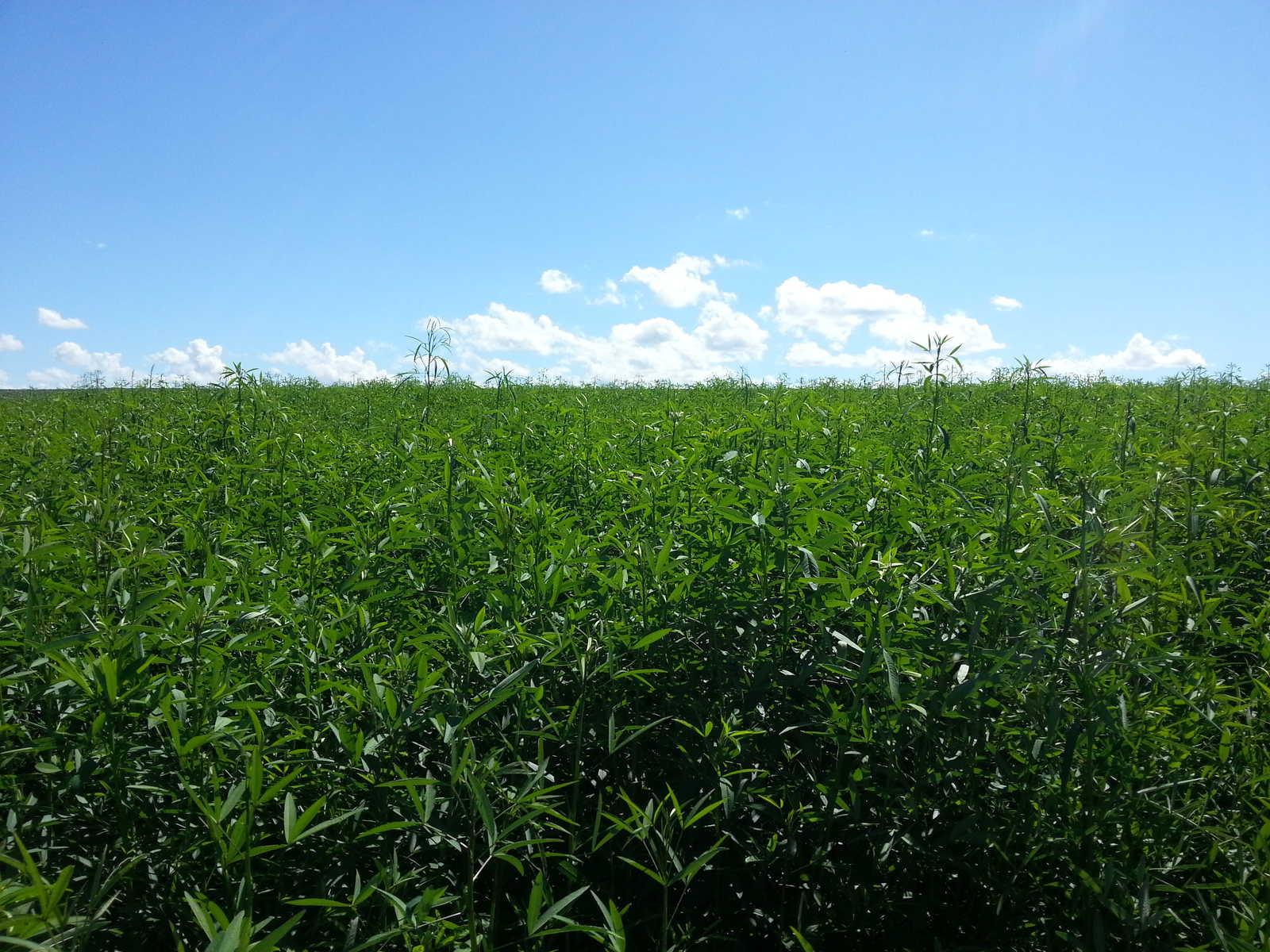 Sementes para Capim Humidicola cv. LLANERO Incrustada (Saco de 10kg)